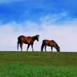 Two brown horses grazing on pasture — Stock Photo #4929560