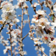 Spring almond blossom flowers in full bloom — Stock Photo