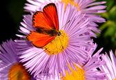 La farfalla su un fiore — Foto Stock