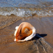 The big cockleshell on a beach in outflow — Stock Photo