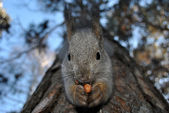The squirrel and a nut — Stock Photo