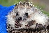 The big hedgehog — ストック写真