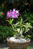 Lilac branch of an orchid in a pot — Stock Photo