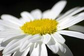 Bílý květ záběr na černém pozadí. — Stock fotografie