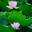 Two Lotus flowers — Stock Photo #4312683