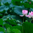 Two Lotus flowers — Stock Photo #4418261
