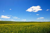 Rape flowers field background — Stock Photo