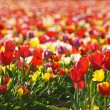 Champ de tulipes rouges et jaunes — Stock Photo