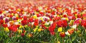 Champ de tulipes rouges et jaunes — Stock Photo