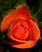 Rose orange sur fond vert naturel — Stock Photo