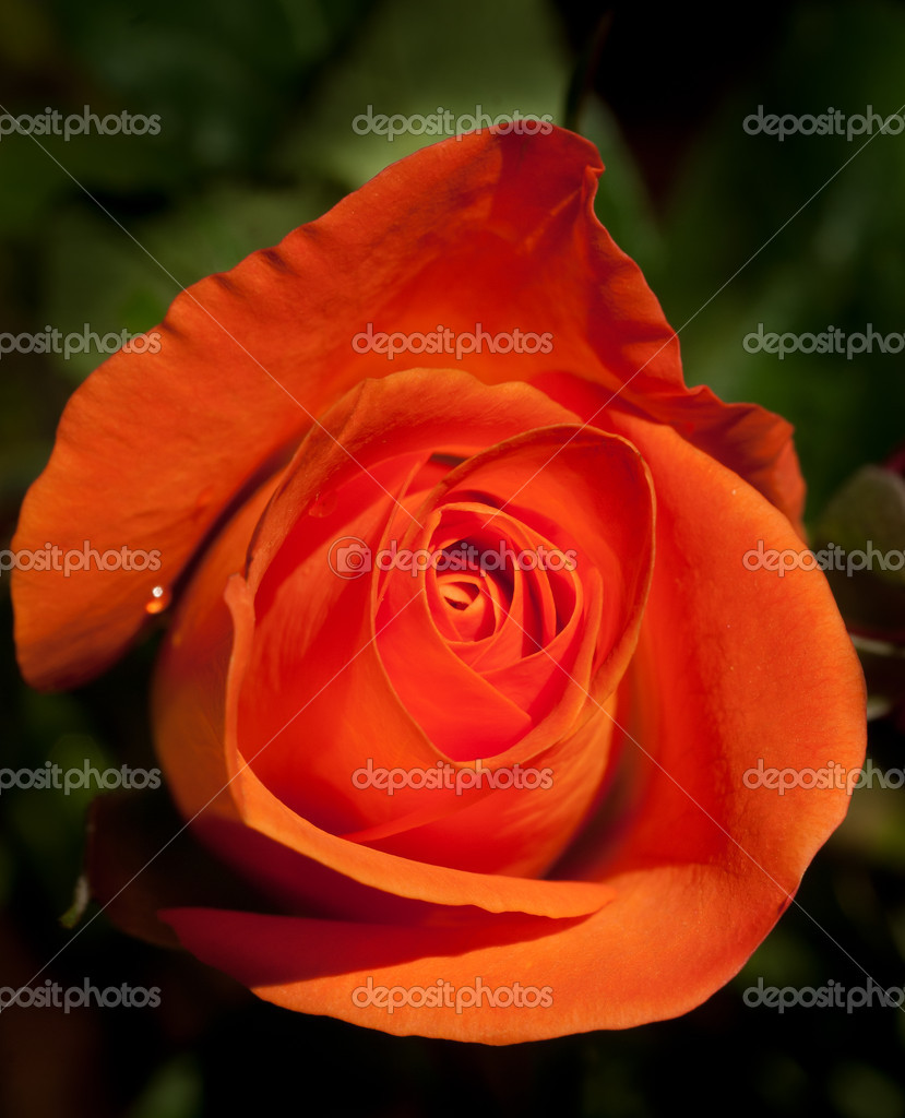 Rose orange sur fond vert naturel  Foto de Stock   #4555506