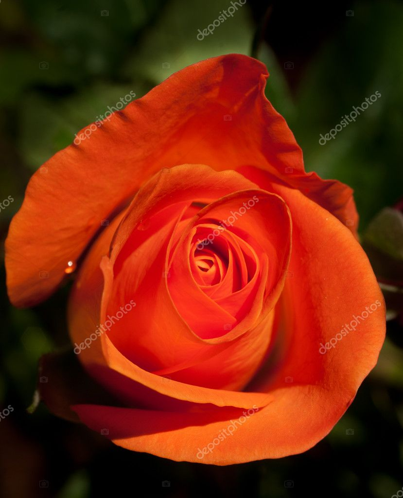 Rose orange sur fond vert naturel  Zdjcie stockowe #4555506