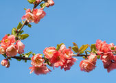 Branch of red pink flower on blue sky — Stock Photo