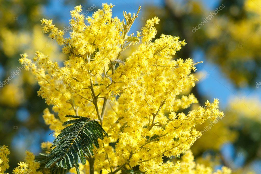 Yellow mimosa flower on blue sky — Stock Photo © saintho ...