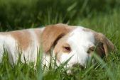 Młody pies śpi na trawie — Zdjęcie stockowe