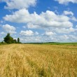 Stock Photo: Gold wheat and blue skies