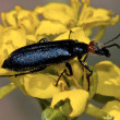 Royalty-Free Stock Photo: Arizona Blister Beetle resting on flower