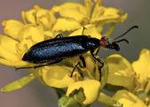 Arizona blister beetle poggiante su fiore — Foto Stock