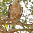 Stock Photo: Coopers Hawk
