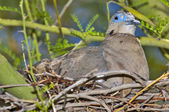 Arizona Dove on Nest — Stock Photo