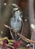 женский blackchin колибри — Стоковое фото