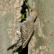 Stock Photo: Gilded Flicker Woodpecker