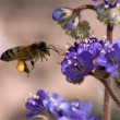 ArizonHoneybee Hovering — Stock Photo #4389031