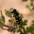 Arizona Hoverfly — Stock Photo