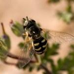 Arizona Hoverfly — Stock Photo #4411642