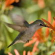 Arizona Humming Bird Feeding — Stock Photo