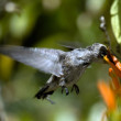 Arizona humming bird utfodring — Stockfoto