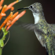 Arizona Humming Bird Hovering — Stock Photo #4433061