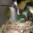Stock Photo: ArizonHumming Bird