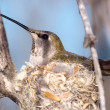 Wild Humming Bird on Nest — Stock Photo #4433093