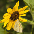 Stock Photo: ArizonOrange Sulfur Butterfly
