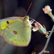 Stock Photo: ArizonOrange Sulphur Butterfly