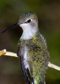 Arizona zoemende vogel — Stockfoto