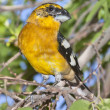 Yellow Grosbeak Bird - Stock Photo