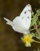 White Arizona Butterfly feeding — Stock Photo