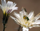 Arizona Green Jewel Bee — Stock Photo