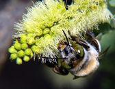 Cactus Bee feeding on Mesquite — Stock Photo