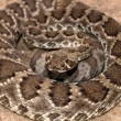 Coiled Rattler — Stock Photo
