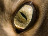 Kedi gözü — Stok fotoğraf