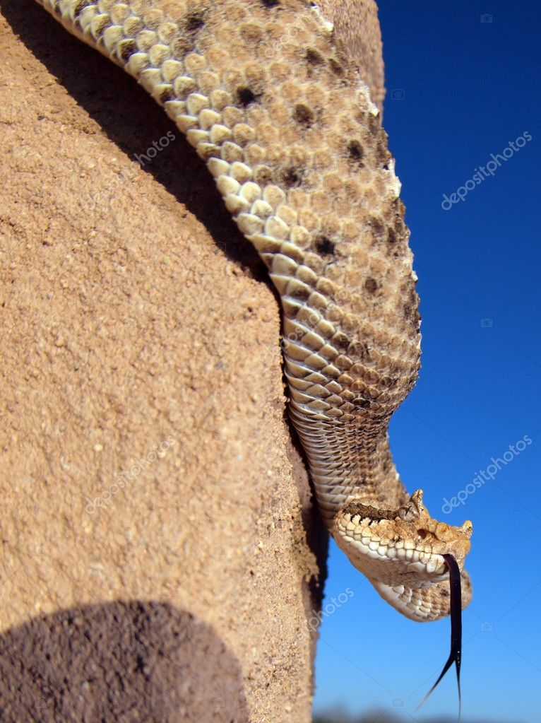 A Horned Rattlesnake native to Arizona climbing down a wooden post.  Stock Photo #4567046