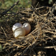 Eggs of a Rock Dove — Stock Photo