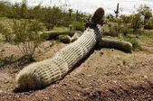 Fallen Saguaro — ストック写真