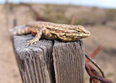 Fence Lizard on Fence Post — Stock Photo