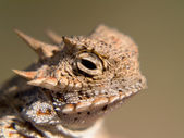 Great Horny Toad — Stock Photo