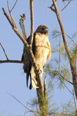 Hawk Perched in Tree — Stock Photo