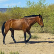 Hungry Horse Trotting in the Desert — Stock Photo #4943755